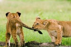 Már látogathatók a gyöngyösi állatkert kisoroszlánjai