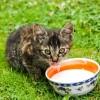 Szereti a macska a tejet?