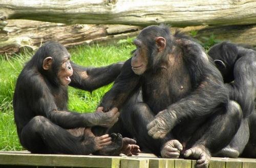 csimpanz_memoriaja
