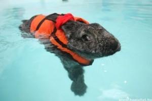 Úszni jár egy nyúl ízületi baja miatt
