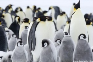 A császárpingvinek láthatatlan légpáncéllal védekeznek a hideg ellen