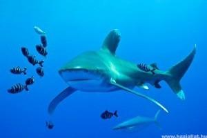 Százmillió cápát ölnek meg évente