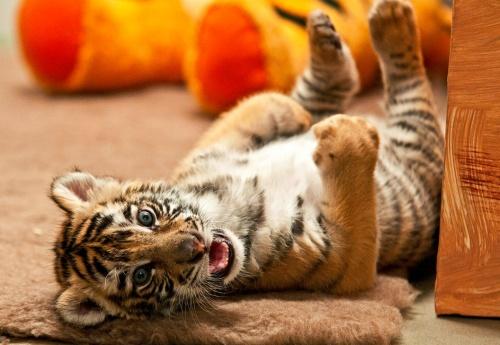 bengali_tigris