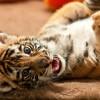Bengáli tigris született a győri állatkertben
