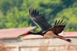 Megérkeztek a fekete gólyák a Gemencbe