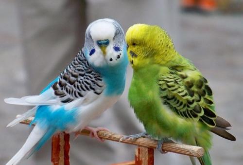 hullamos-papagaj-etetese