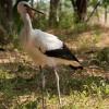 6 hónap hallgatás után újra küldött SMS-t Tisza, a fiatal jeladós gólya