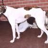 Magyar agár, kiváló családi kutya