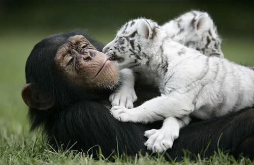 csimpanz2