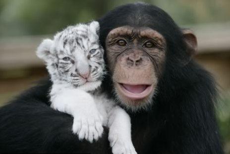 csimpanz3