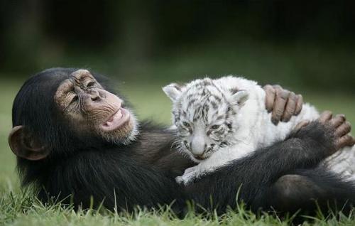 csimpanz4