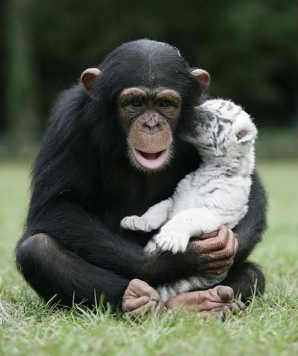 csimpanz5