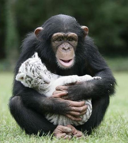 csimpanz6