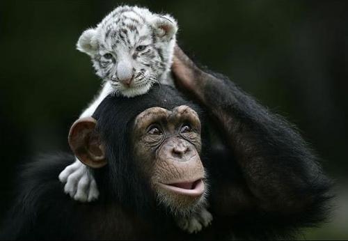 csimpanz7