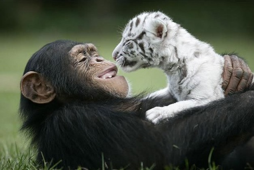 csimpanz8