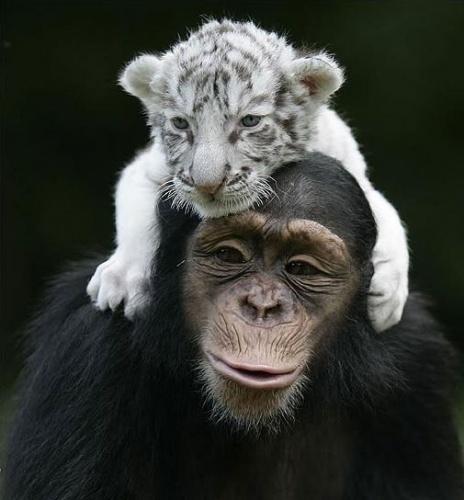 csimpanz9