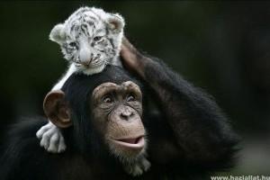 Csodálatos állatok: A csimpánz és a tigriskölykök