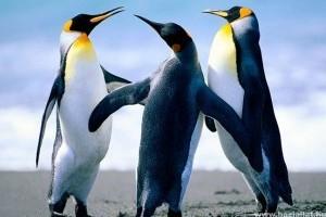 Miért nem repül a pingvin?