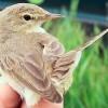 Új madárfaj, kis geze bukkant fel Magyarországon