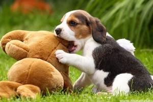 Az egészséges beagle