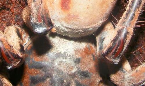 Madárpók gombás fertőzése