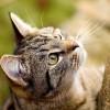 A macska a légyzümmögést is meghallja