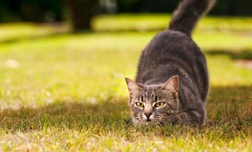 macska vadászik