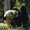 Tapsolnak a pandák Bécsben