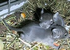mókus, kölyök, csíkos mókus