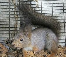 mókus, hobbiállat
