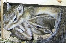 csíkos mókus, tartás