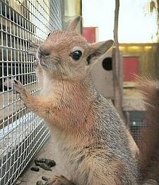 mókus, háziállat