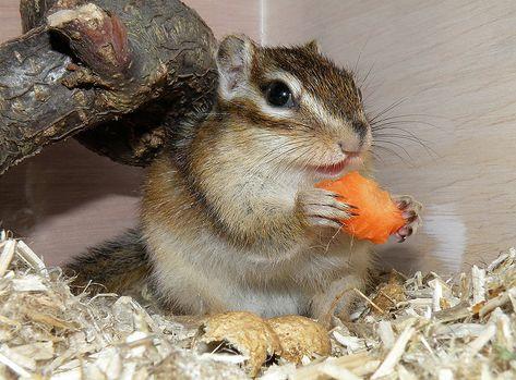 csíkos mókus, répa