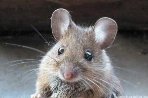 A varázsgomba hatóanyaga képes kitörölni egerekből a félelemérzetet