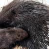 Tarajos sül született a jászberényi állatkertben
