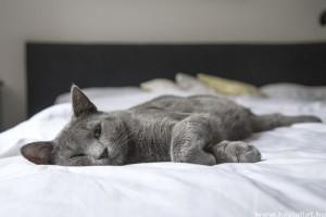 Feltárták, hogyan vált ki tüneteket a macskaszőr-allergia
