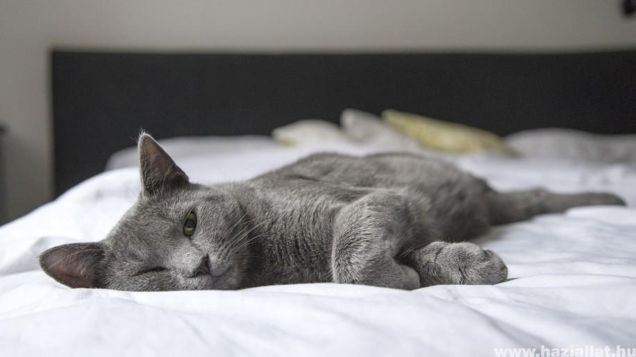 Kiderült, miért vagyunk allergiásak a macskaszőrre
