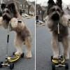 Norman a világ leggyorsabban rollerező kutyája