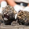 Afrikai leopárdtestvérpár született Nyíregyházán