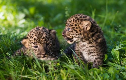 Ami és Amina afrikai leopárdtestvérpár