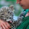 Perzsa leopárdkölyök született a Fővárosi Állat- és Növénykertben