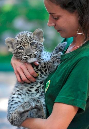 leopardkolyok