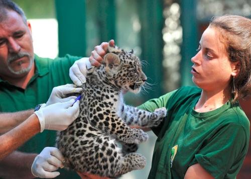 leopardkolyok2