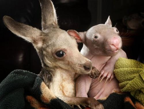 vombat_kenguru_wallaby2