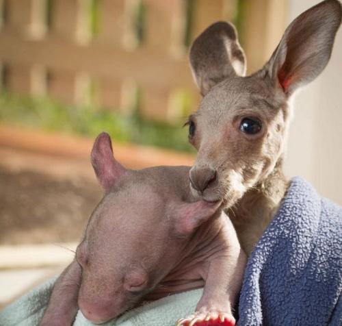 vombat_kenguru_wallaby4