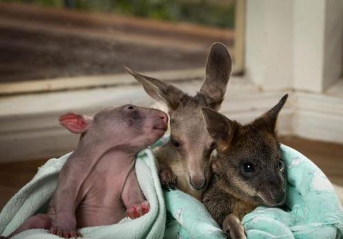 vombat_kenguru_wallaby5