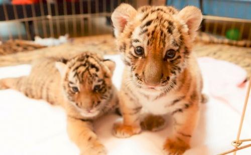 amuri_tigris