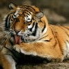 Agykárosító szopornyica terjed az amuri tigrisek között