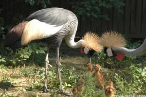 Koronásdaru-fiókák keltek ki a Nyíregyházi Állatparkban