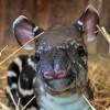 Látogatók nevezhetik el a veszprémi állatkertben született tapírt